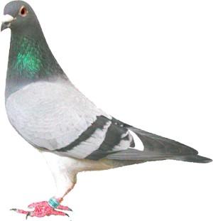 La alimentación de la paloma de carrera.-
